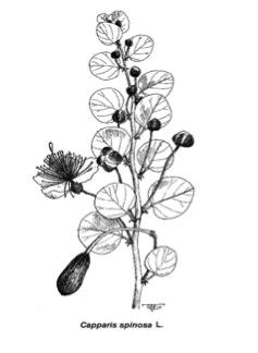 نبات الكبار (القبار) الشوكيCapparis spinosa