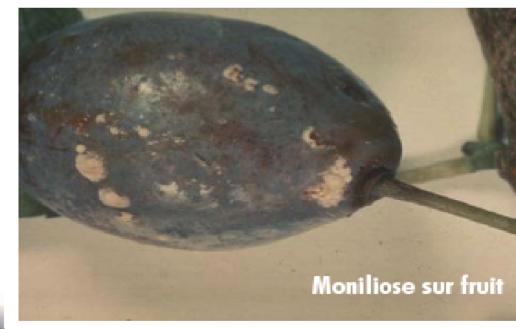 التعفن (Moniliose)، �