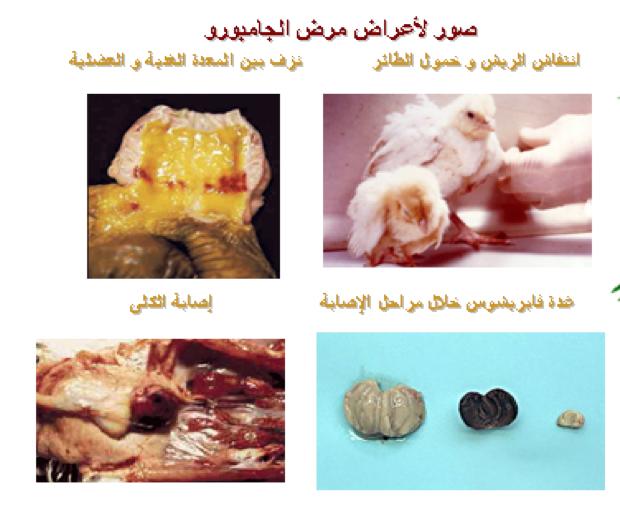 صور لأعراض مرض الجمبورو