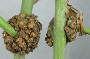 مرض التدرن التاجي Agrobacterium Tumefacins