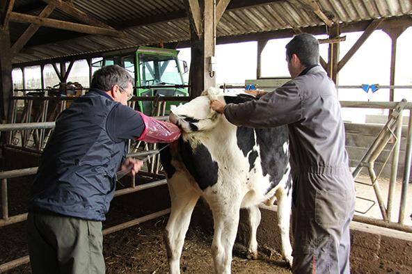 L'insémination artificielle des vaches  التلقيح الإصطناعي عند الأبقار