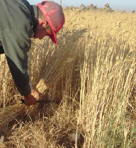 حصاد بالمنجل