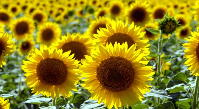 tournesol عباد الشمس نوار الشمس