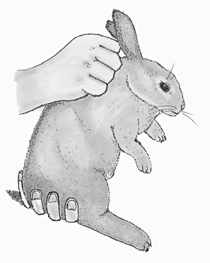 كيفية حمل الأرانب