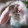 الأمراض التي تصيب الأرانب.