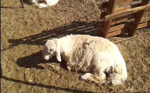 اضطراب و كآبة الحيوان المصاب