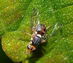 ذبابة الزيتون